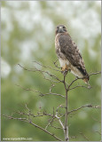 Red-tailed Hawk 90