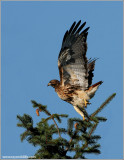 Red-tailed Hawk 91