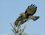 Red-tailed Hawk 92
