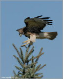 Red-tailed Hawk 93