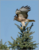 Red-tailed Hawk 94