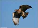 Red-tailed Hawk 95