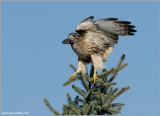 Red-tailed Hawk  96
