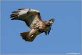 Red-tailed Hawk 97