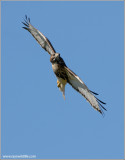 Red-tailed Hawk 98