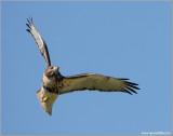 Red-tailed Hawk 99