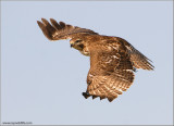 Red-tailed Hawk   Re-edit 101
