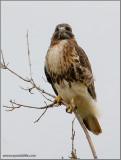 Red-tailed Hawk 102