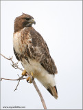 Red-tailed Hawk 103