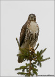 Red-tailed Hawk 104