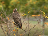 Red-tailed Hawk 105