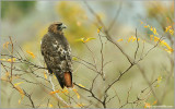 Red-tailed Hawk 106