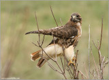 Red-tailed Hawk 107