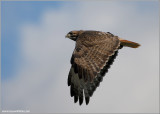 Red-tailed Hawk 108