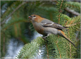 Pine Grosbeak female 2
