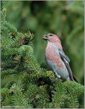 Pine Grosbeak male 3