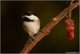 Black-capped Chickadee 10