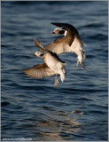Long-tailed Ducks 17a