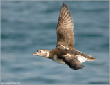 Long-tailed Duck 20