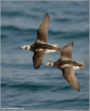 Long-tailed Ducks 21