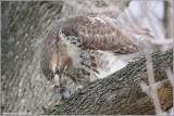 Red-tailed Hawk with lunch 111