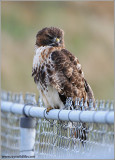 Red-tailed Hawk 112