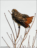 Red-tailed Hawk 113