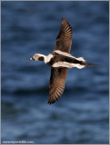 Long-tailed Duck 23