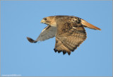 Red-tailed Hawk in flight 115