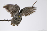 Northern Hawk Owl in Flight 2