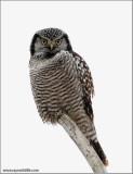 Northern Hawk Owl 3