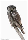 Northern Hawk Owl 4