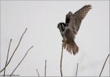 Northern Hawk Owl (2nd Edit) 6