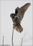 Northern Hawk Owl 7