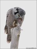 Northern Hawk Owl beheading a Vole 9