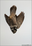Northern Hawk Owl in Flight 10