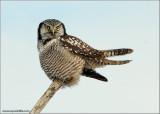 Northern Hawk Owl 11