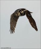 Northern Hawk Owl in Flight 13