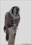 Northern Hawk Owl swallowing a  Vole 15