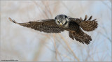 Northern Hawk Owl in Flight 17