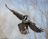 Northern Hawk Owl in Flight 18