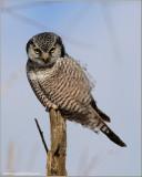 Northern Hawk Owl hunting 19