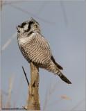 Northern Hawk Owl looking Back 20