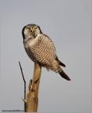 Northern Hawk Owl 21