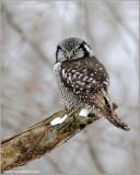 Northern Hawk Owl 23