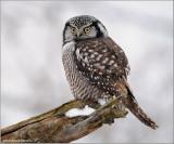 Northern Hawk Owl hunting 24