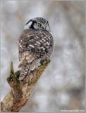 Northern Hawk Owl hunting 25