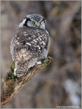 Northern Hawk Owl 26