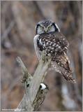 Northern Hawk Owl 27