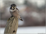 Northern Hawk Owl hunting 28